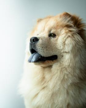 Chow Dog Canine Free Photo