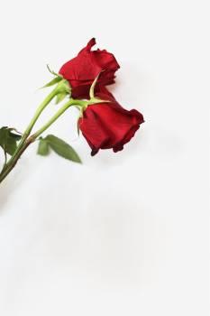 Bud Flower Rose Free Photo