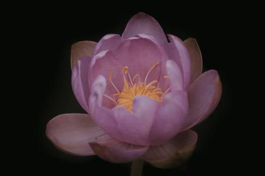 Petal Flower Pink Free Photo