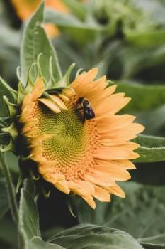 Sunflower Flower Plant Free Photo