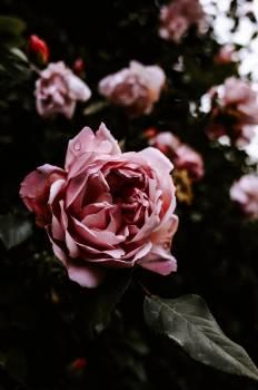 Rose Shrub Plant #418695