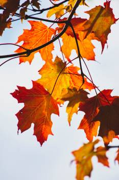 Maple Autumn Fall Free Photo