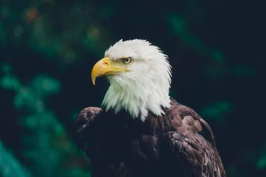 Bald eagle Eagle Bird #418816