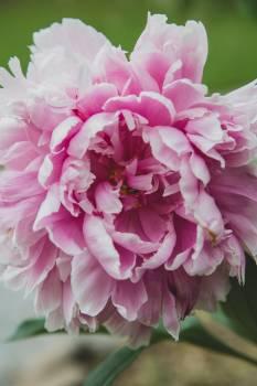 Pink Flower Petal #418908
