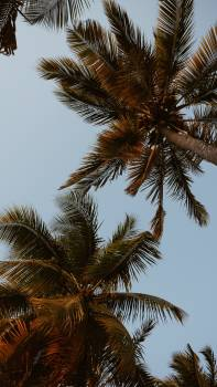 Coconut Palm Tree #418942