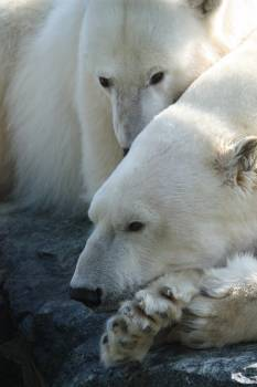 Ice bear Bear Mammal Free Photo