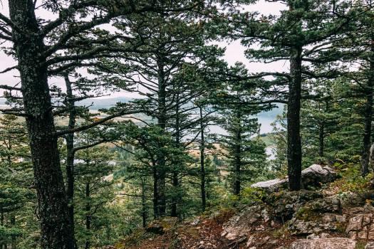Tree Pine Oak Free Photo