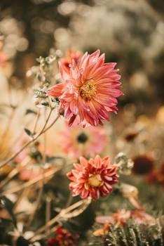 Flower Ornamental Petal Free Photo