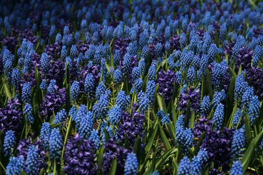 Grape hyacinth Vascular plant Bulbous plant #419287
