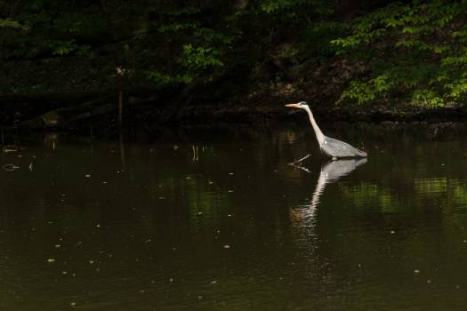 Grey Heron - Free Image For Commercial Use #419295