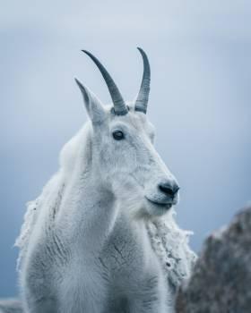 Ibex Wild goat Goat #419299