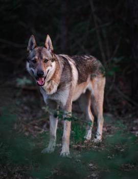 Dingo Canine Wild dog Free Photo