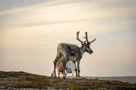 Caribou Deer Wildlife Free Photo