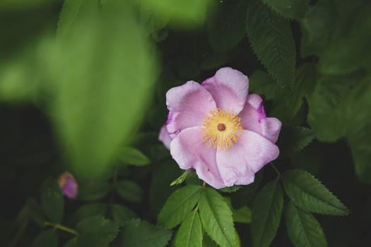 Shrub Woody plant Rose #419445