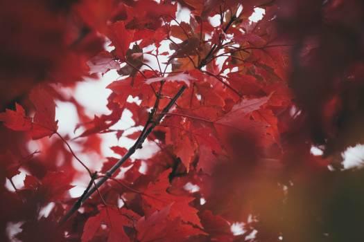 Maple Tree Shrub #419569