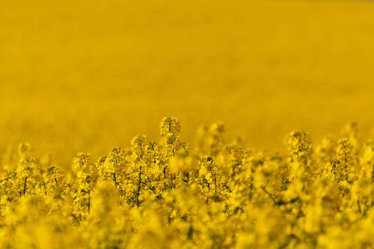 Rapeseed Field Close Up - Free Image For Commercial Use #419595