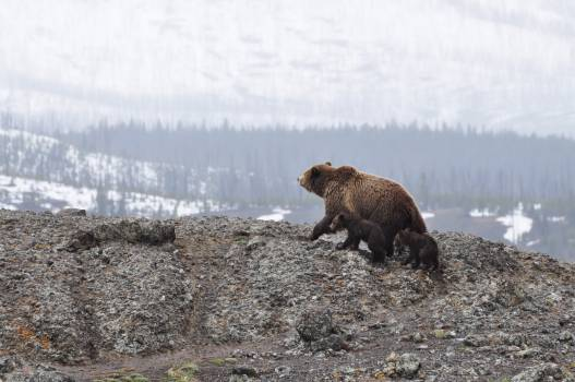 brown bear Free Photo