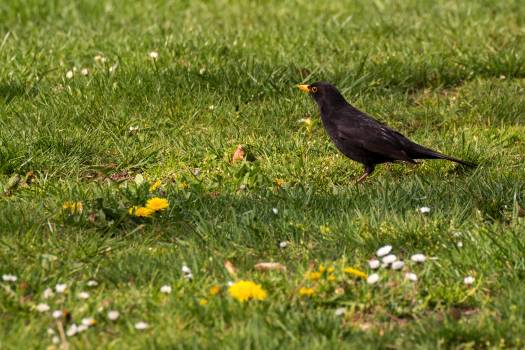 Blackbird on the Grass - Free Image For Commercial Use Free Photo