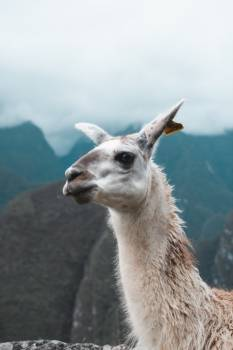 Llama Ungulate Mammal Free Photo