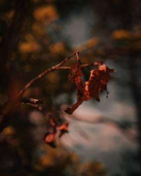 Maple Tree Autumn Free Photo