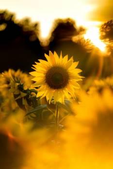 Sunflower Flower Yellow Free Photo