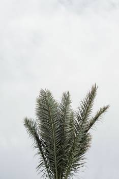 Wheat Plant Fir #419794