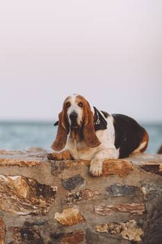 Basset Hound Hunting dog #419842
