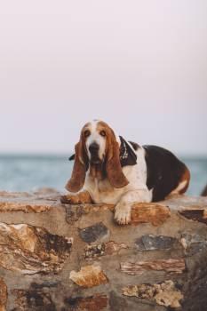 Basset Hound Hunting dog Free Photo