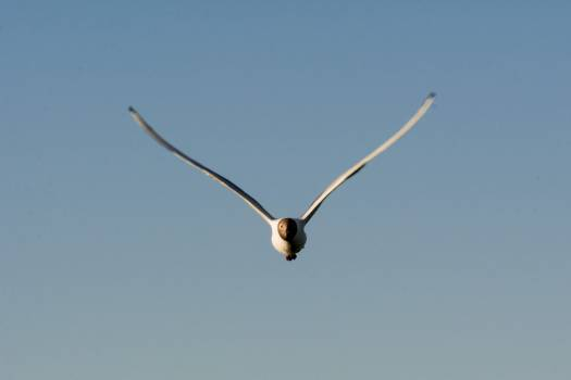 Seagull flying in the blue sky - Free Image For Commercial Use #419844
