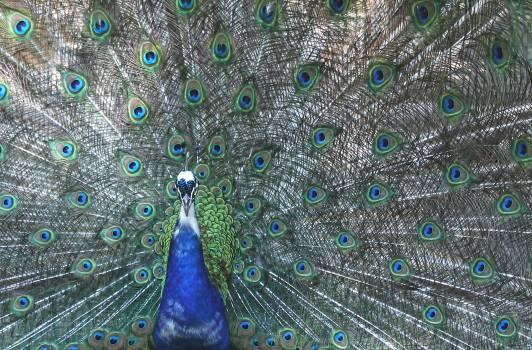 peacock #419860