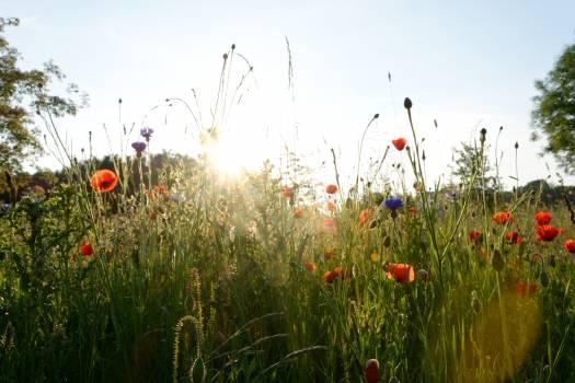 Poppy Flower Angiosperm Free Photo
