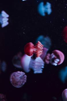 Jellyfish Invertebrate Animal Free Photo