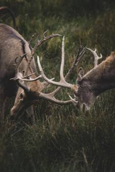 Caribou Deer Buck Free Photo