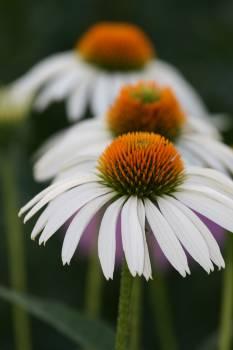 Daisy Flower Petal #420288