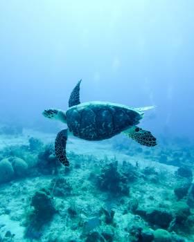 Loggerhead Sea turtle Turtle #420343