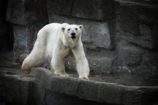 White Bear Walking in the Concrete Bridge Free Photo