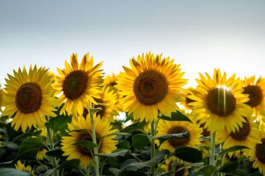 Sunflower Flower Yellow #420710