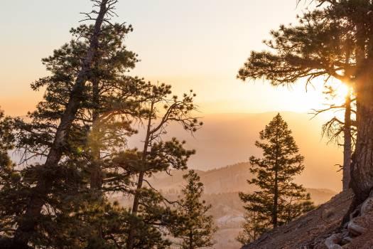 Tree Pine Fir Free Photo