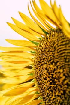Sunflower Flower Yellow #420742
