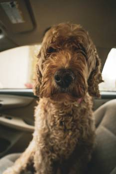 Terrier Hunting dog Dog Free Photo