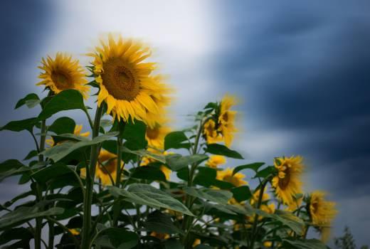 Sunflower Flower Yellow #420939