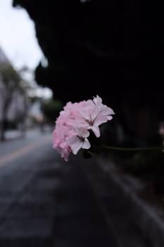 Pink Shrub Petal Free Photo