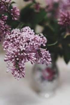 Lilac Herb Plant Free Photo