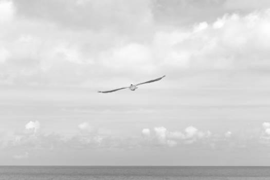 Sea black and white flight sky Free Photo