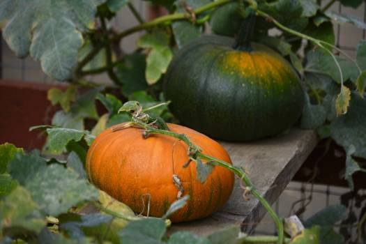 Pumpkin Squash Vegetable #420998