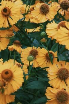 Sunflower Flower Daisy #421030