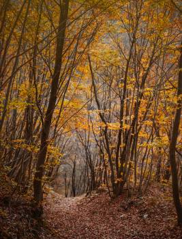 Birch Tree Poplar Free Photo