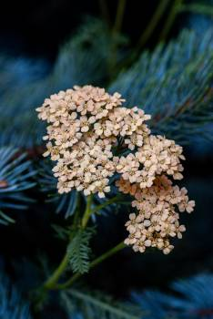 Yarrow Herb Vascular plant #421240