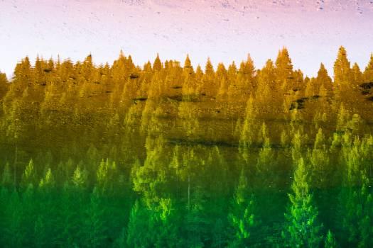 Tree Poplar Forest Free Photo