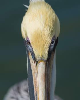 Pelican Bird Seabird #421409